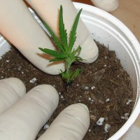 How to clone weed