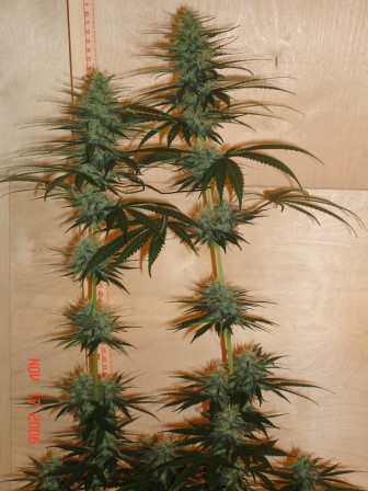 Marijuana Flowering Stage | Flowering Cannabis Plants