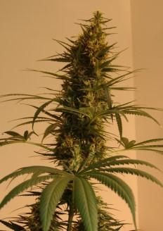Marijuana growing tips