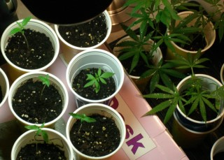 Seedlings move into vegetative stage of cannabis growth.