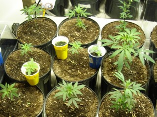 Vegetative Growth of Marijuana
